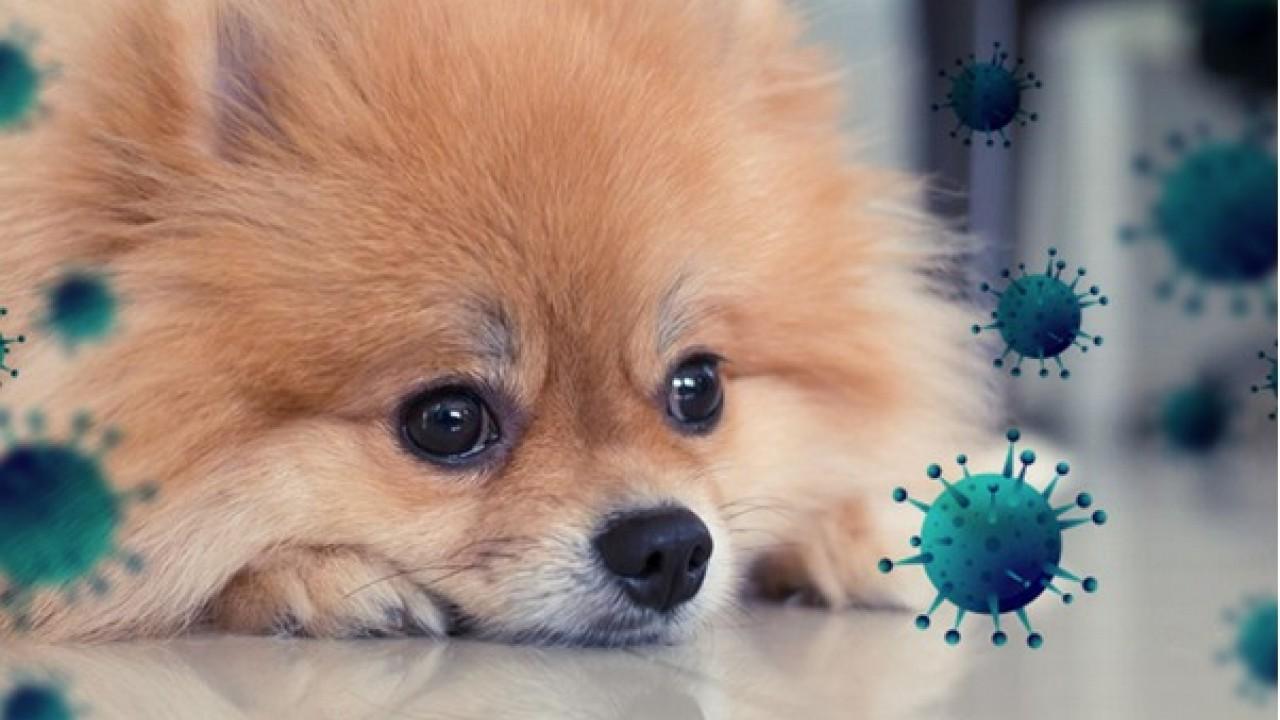 COVID-19 e animais de estimação: Quando a pandemia atinge o pânico